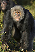 Chimpanzee<br /> Pan troglodytes<br /> Alpha male<br /> Ngamba Island Chimpanzee, Sanctuary <br /> *Captive