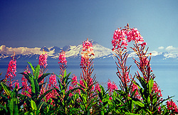 Ninilchik, AK:  Fireweed offers scarlet punctuation to the Sterling Highway drive along the west coast of the Kenai Peninsula.  The mountain in the background, across the Cook Inlet, is Redoubt Volcano in the Lake Clark National Park and Preserve.