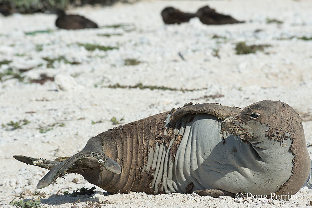 endemic Hawaiian monk seal, Monachus schauinslandi ( Critically Endangered Species ), resting on shore while shedding skin and fur during annual molt or moult; East Island, French Frigate Shoals, Papahanaumokuakea Marine National Monument, Northwest Hawaiian Islands, USA ( Central Pacific Ocean )