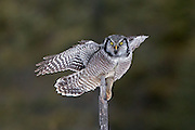 Northern Hawk Owl (Surnia ulula)  landing on branch.