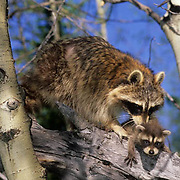 Raccoon, (Procyon lotor) Adult with baby. Montana.  Captive Animal.