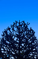 An Araucaria tree sometimes called a Monkey Puzzle Tree at dusk against a deep blue sky