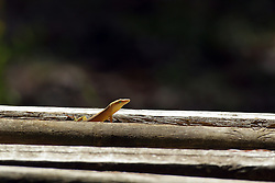 A Green Anole pops it's head up from between two logs that make up a bench at a cabin near Townsend TN.