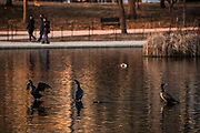 Double-crested cormorants stand in the Constitution Gardens pond as tourists pass them by, Sunday, Feb. 5, 2017 in Washington. Over 20 million tourists visit Washington every year, often coming in close contact with the hundreds of bird species that occupy the city.