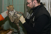 "LYON, FRANCE - OCTOBER 15:  Birth unprecedented in Zoo of Lyon: a ""panthere de l'Amour"" on October 15, 2013 in Lyon, France. <br /> This baby panther was born at the zoo in Lyon on 21 August<br /> It has no name yet, because the city of Lyon hosted a vote that people choose.<br /> This is the 20th birth in the zoo since the beginning of the year.<br /> This ""panthère de l'Amour"" is born by two young Siberian felines arrived at the zoo in Lyon there are less than 3 years.<br />  A species in danger of extinction<br /> The appearance of the animal creates a new line from the captive population of this species in danger of extinction today it no longer counts as 30-35 Panthers this type in nature.<br /> (Photo by Bruno Vigneron/Getty Images)"