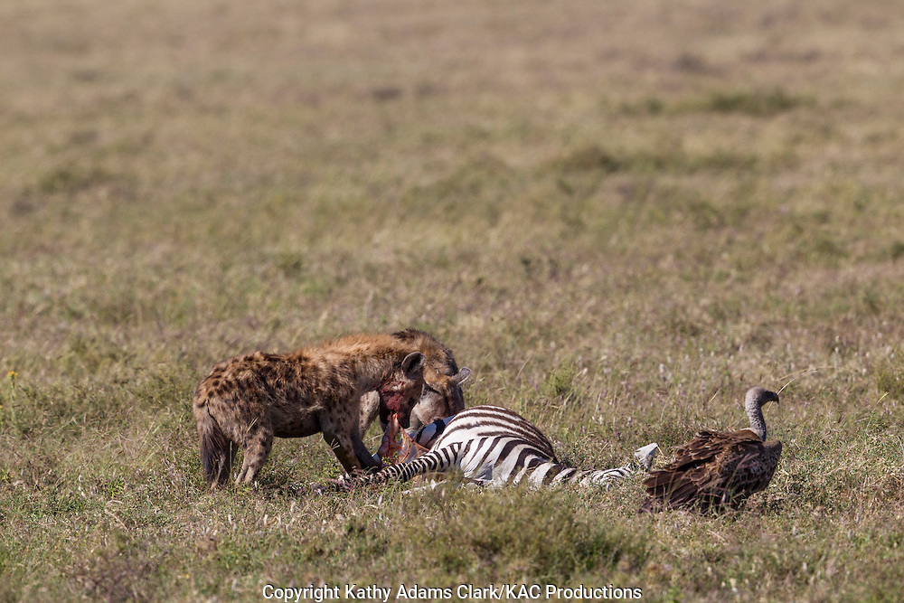 Spotted jyaena, feeding on a zebra that has recently died, on the short grass plains, in the Ngorongoro Conservation Area, near Ndutu, Tanzania, Africa.