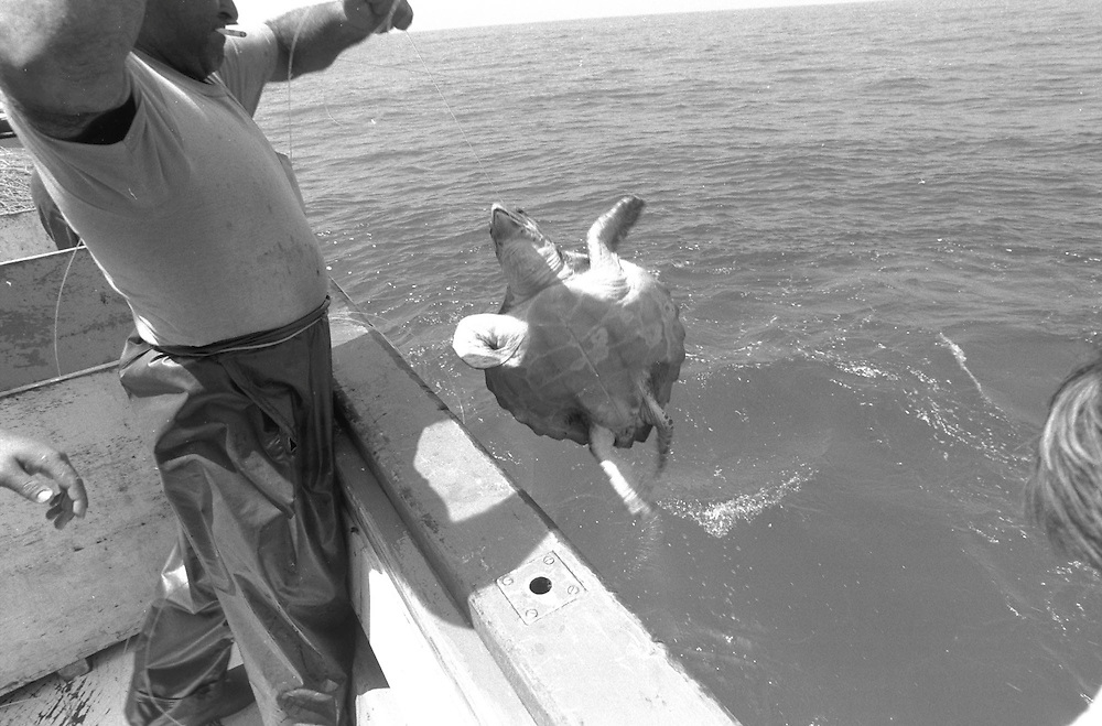 Accidental catching of Loggerhead Turtle by a Spanish longliner in the  Mediterranean.  The turtle is brought on board in order to cut the  line and then the turtle is thrown back into the sea with the hook  still embedded.  Accession #: 1.89.121.008.10
