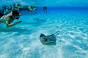 Tourist photographing stingray - Grand Cayman B.W.I.