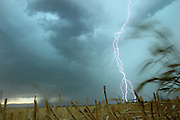 (whippin wheat storm)  --  Multiple lightning bolts arc down from dark thunderstorm clouds over Walla Walla as stubble and a few stay stalks of wheat billow in strong winds. Dark clouds full of lightning, thunder, rain and wind quickly swept in to the valley Friday afternoon sparking multiple field fires.        (8/31/07)        MZ Photo