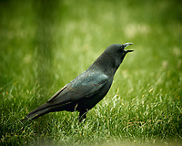 American Black Crow. Image taken with a Nikon D4 camera and 600 mm f/4 VR lens (ISO 640, 600 mm, f/4, 1/400 sec).