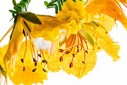 Yellow Poinciana#26