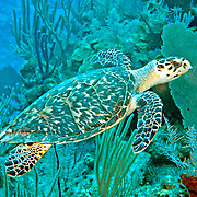 Hawksbill Sea Turtle are most commonly found on coral reefs where 70-95% of their food is sponges, although they also feed on crustations, algae and fish; they are circumtropical; picture taken Grand Turk.