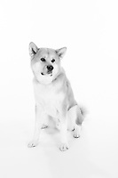 Pet portrait mini session in the studio for Corinne Mullen and her Akita dog.<br /> <br /> ©2017, Sean Phillips<br /> http://www.RiverwoodPhotography.com