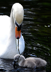 © Licensed to London News Pictures. 16/05/2012. Chiswick, UK. The mother swan carefully removes a piece of pond weed from one of the cygnets.  A family of Mute swans and their brood of 7 Cygnets explore a lake in Chiswick this morning. The birth of cygnets traditionally heralds the start of summer in the UK. Photo credit : Stephen Simpson/LNP