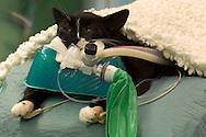 NLD, Niederlande: Anästhesierte Katze liegt bereit zur Rhinoskopie, eine endoskopische Untersuchung des Nasen- und Rachenraumes, es wird dabei eine Gewebeprobe entnommen, Universitätsklinik für Gesellschaftstiere, Fakultät der Tierheilkunde, Utrecht | NLD, Netherlands: Anaesthetised cat lying ready for a rhinoscopy, an endoscopic examination of the nose and throat, a tissue specimen will be taken, university clinic for companion animals, faculty of veterinary medicine, Utrecht |