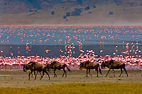Blue wildebeest (gnu) with flamingos on Lake Magadi in background, Ngorongoro Crater, Ngorongoro Conservation Area, Tanzania