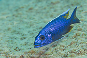 A male Electric Blue Hap, Sciaenochromis fryeri, hunts in the shallows of Masimbwe Island, Lake Malawi, Malawi.