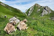 Cows rest in the high pasture of Meglisalp near Bötzel pass in the Alpstein limestone range, Appenzell Alps, Switzerland, Europe.