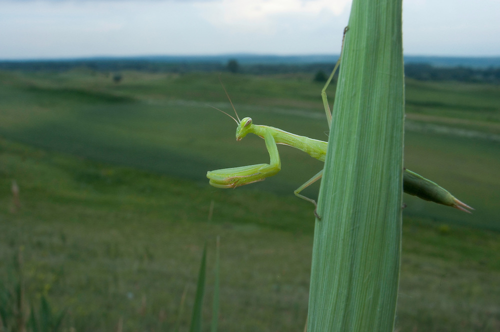 European praying mantis (Mantis religiosa) in Moldova near adurea Domnesca National Park