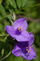 Prairie Spiderwort (Tradescantia occidentalis), Travis County, Texas