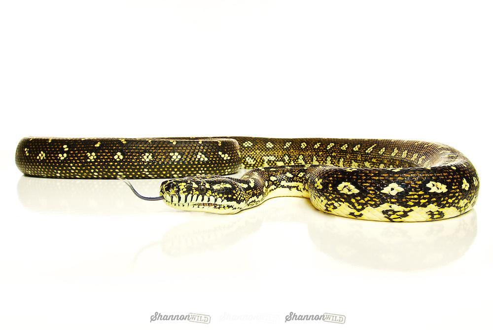Diamond Python (Morelia spilota spilota). Female