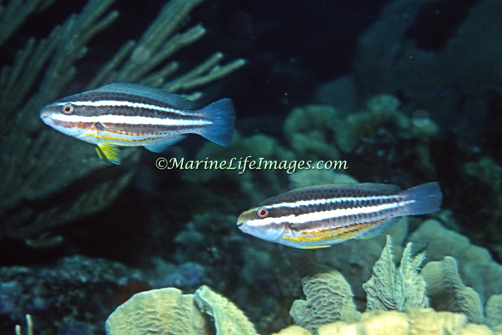 Striped Parrotfish swim about reefs and adjacent areas scrapping filamenmtous algae from hard substrates in Tropical West Atlantic; picture taken Roatan, Honduras.