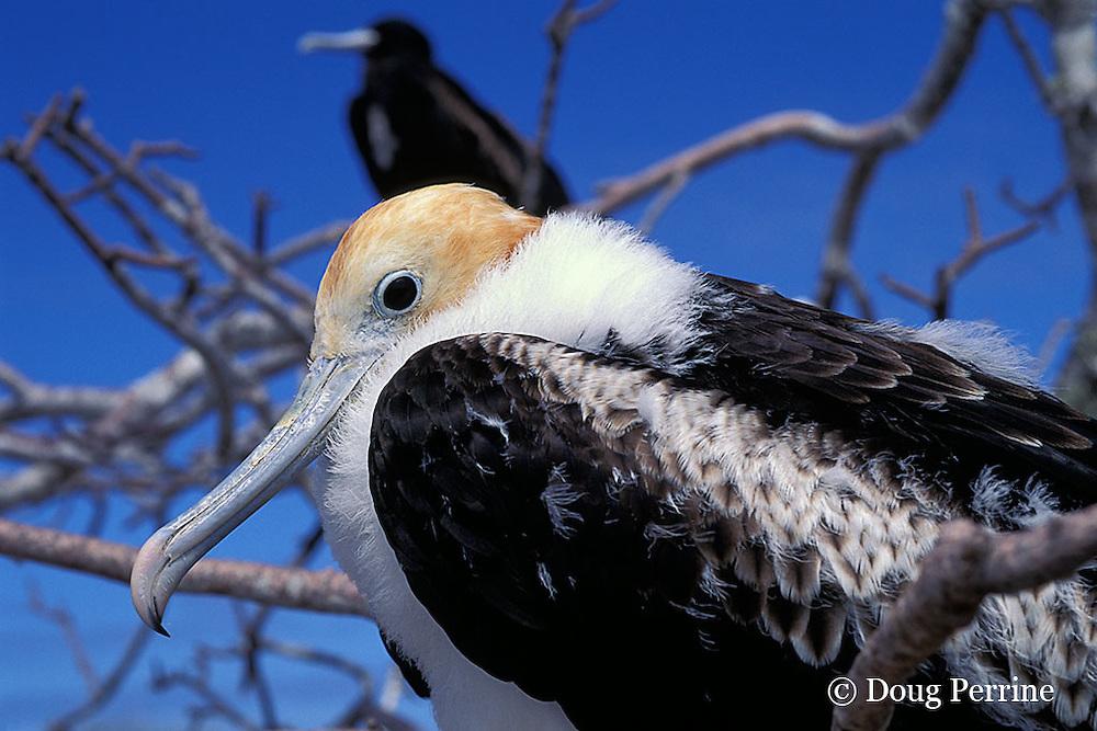 great frigatebird chick, Fregata minor, Tower or Genovesa Island, Galapagos Islands, Ecuador,  ( Eastern Pacific Ocean )