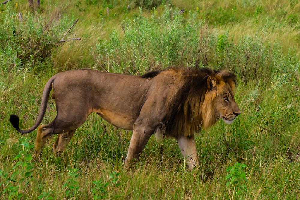 Male lion walking, Kwando Concession, Linyanti Marshes, Botswana.