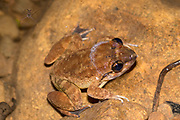 """Limnonectes sp. (probably member of the L. """"kuhlii""""-species complex) from Kubah National Park, Sarawak, Borneo"""