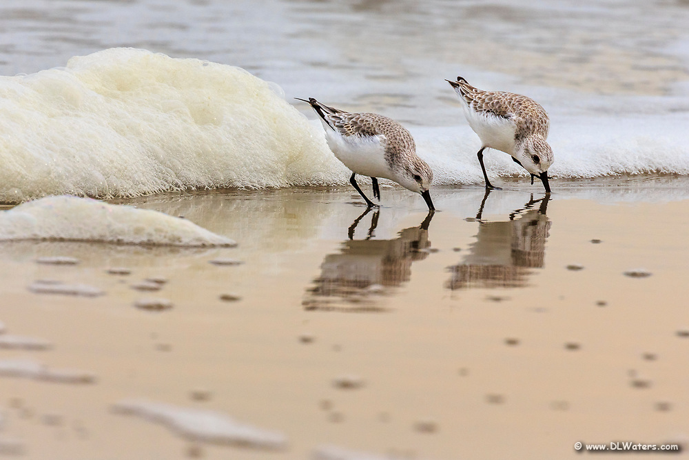 Feeding sandpipers in Corolla NC on the Outer Banks.