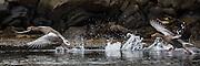 Grågås i flukt | Escaping Grey goose