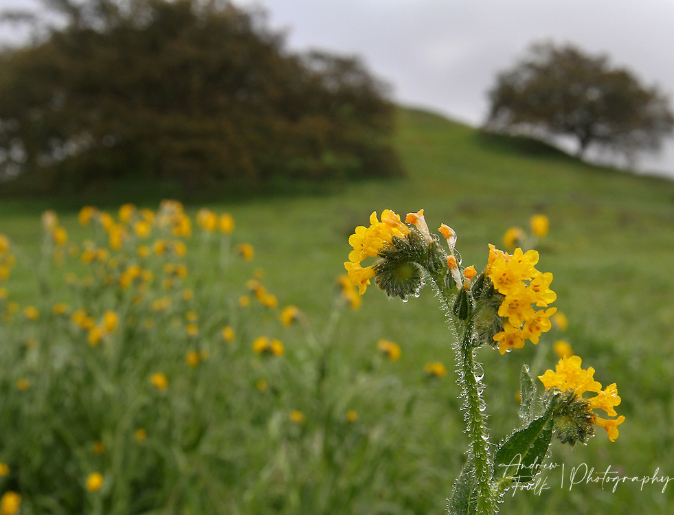 Photo by www.andrewfoulkphotography.com A fiddleneck flower grows at the base of Poppy Hill at the Santa Rosa Plateau Ecological Reserve. With minimal rain fall this year the wildflower bloom on the plateau is expected to be smaller than past years.