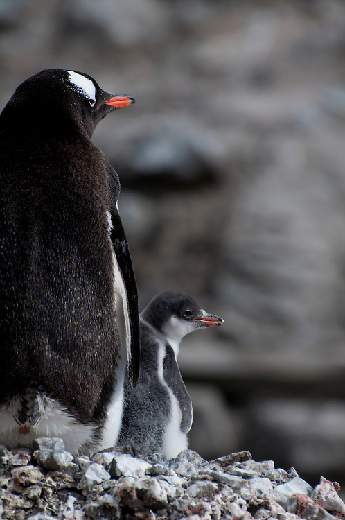 A gentoo chick copies the movements of its parent as they gaze out over the colony