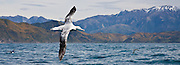 Wandering Albatross, panoramic, New Zealand