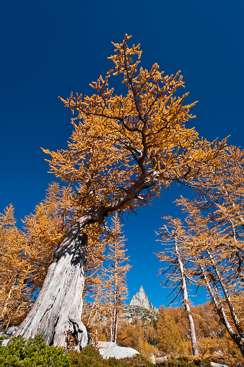 Alpine larch tree and Prusik Peak in The Enchantments, Alpine Lakes Wilderness, Washington.