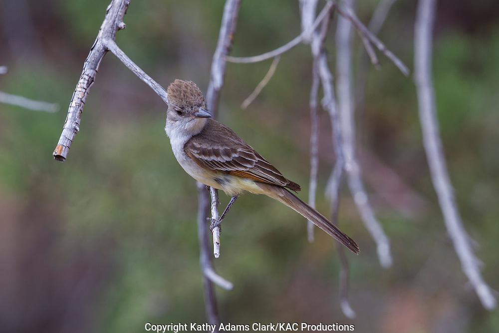 Ash-throated flycatcher; Myiarchus cinerascens; Sonoran Desert; Arizona; Southern; Summer