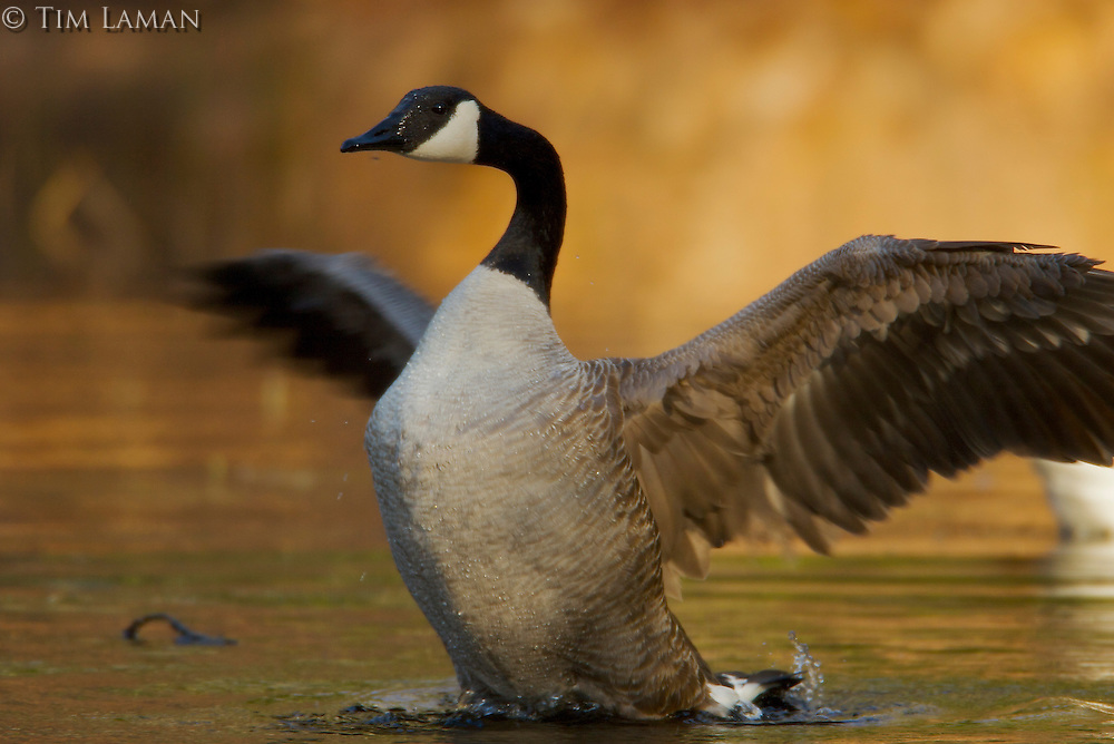 A Canada Goose flaps its wings at the pool at Wyman Meadow next to Walden Pond.