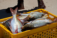Freshly caught fish in plastic tubs on a beach on Le Morne Brabant Peninsula on the south west coast of Mauritius
