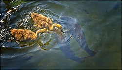 A second baby gosling came to the defense of his or her sister and helped fight off the off the carp so they could eat.