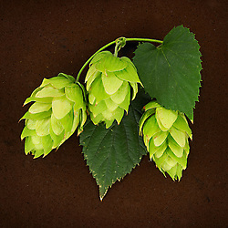 Hops - Personal Work by Jess Kugler