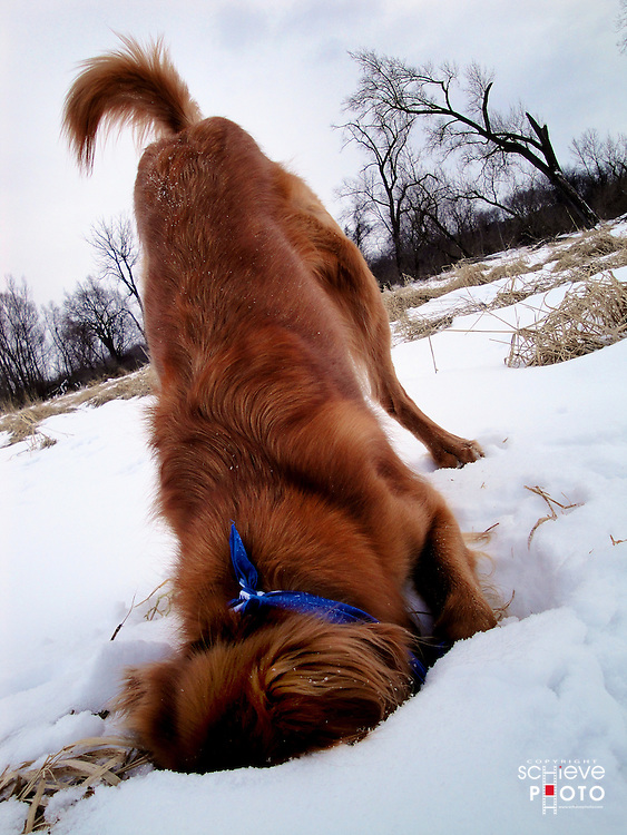 Dog digging in snow.