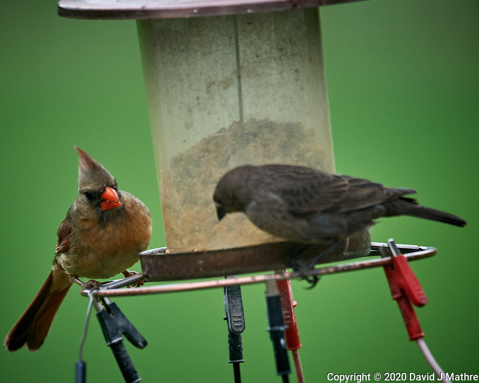 Northern Cardinal and Brown-headed Cowbird. Image taken with a Nikon D5 camera and 600 mm f/4 VR lens (ISO 1600, 600 mm, f/5.6, 1/1250 sec).