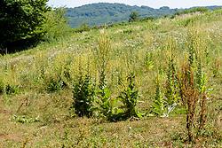 Vlokkige toorts, Verbascum pulverulentum