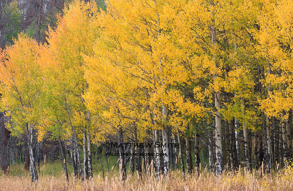 Aspen Grove in Colorado