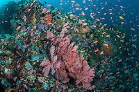 Reef Slope with Sea Fan and Schooling Anthias<br /> <br /> Shot in Indonesia