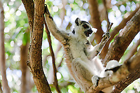 A ring-tailed lemur playing with a twig, Nahampoana Reserve, Fort Dauphin, Madagascar.