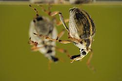 [captive] The Milfoil weevil (Eubrychius velutus), here on water milfoil (Myriophyllum sp.),  is an aquatic weevil. The adults live fully submerged and take up oxygen from a layer of air around the body. Westensee, Germany | Der Tausendblatt-Rüsselkäfer (Eubrychius velutus) ist ein guter Schwimmer und lebt komplett unter Wasser. Meist findet man ihn zwischen den den fiedrigen Blättern des Tausendblatts.