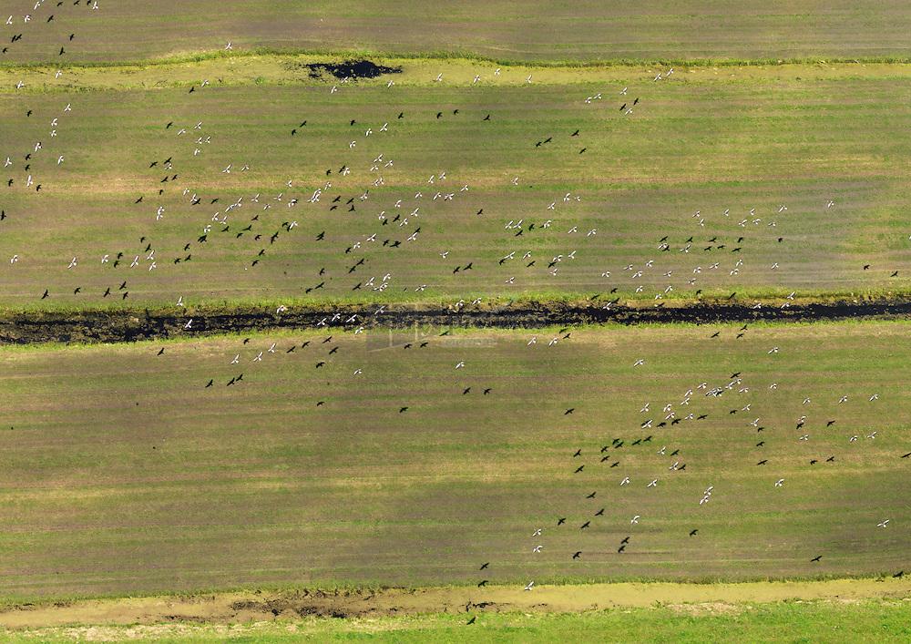 Ganzen vliegen boven zuid hollands landschap emt slootjes en weide