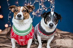 Dogs Wearing Christmas Jumpers