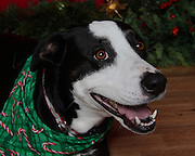 Christmas pet photo